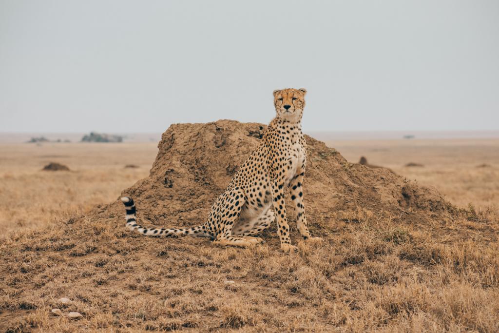 Cheetah on termite hill serengeti