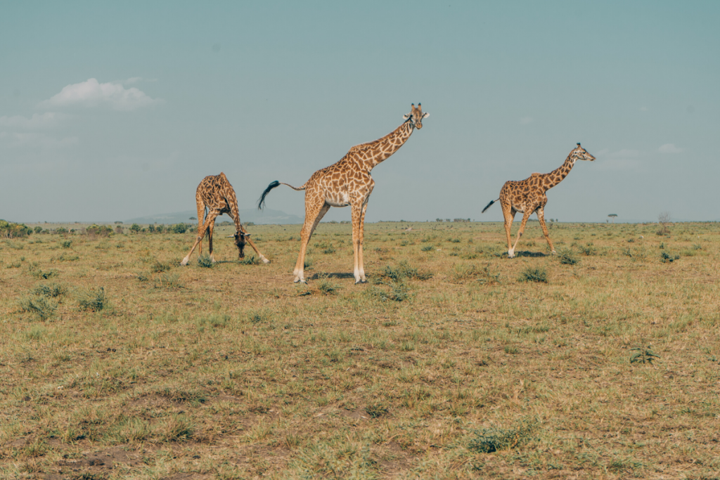 Giraffes Amboseli seen on safari