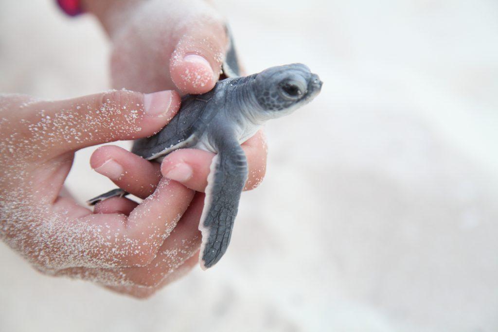 Marriott International Cancun sea turtle release program